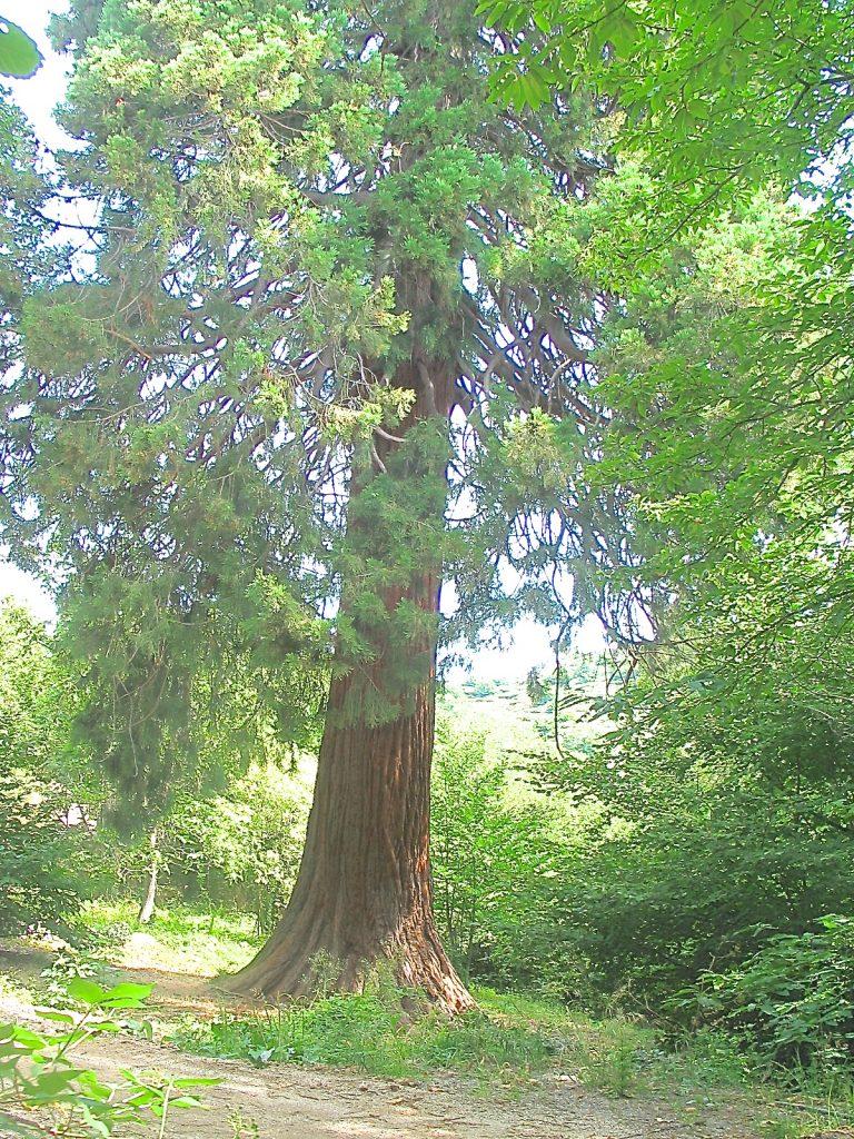 1sequoiag